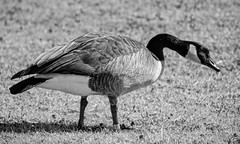 Canadian in Oklahoma (brev99) Tags: blackandwhite bird ngc goose canadiangoose d7100 ononesoftware nikviveza tamron70300vc highqualityanimals perfectphotosuite9