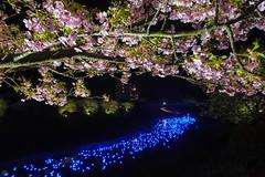 20160305-DSC_2329.jpg (d3_plus) Tags: street sea sky plant flower nature japan spring nikon scenery nightshot cloudy bloom  cherryblossom  sakura lightup nightview 28105mmf3545d nikkor    shizuoka    izu   28105   rapeblossom    28105mm  zoomlense  minamiizu    kawazuzakura    28105mmf3545 d700 281053545  nikond700 shimokamo aiafzoomnikkor28105mmf3545d nightcherryblossom 28105mmf3545af    southcherryblossomandrapeblossomfestival aiafnikkor28105mmf3545d shootingstarsandsakurainnight sakurainnight