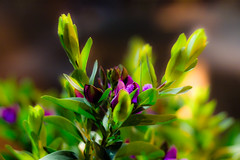 IMG_7539 (Nikan Likan) Tags: light paris color zeiss vintage lens 50mm prime blossom bokeh jena carl ddr manual f18 | flawer 2016 carlzeissjena pancolar
