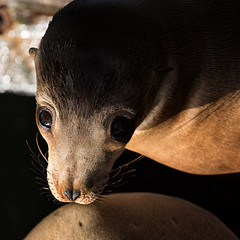 (Navicore) Tags: california santacruz wharf sealion