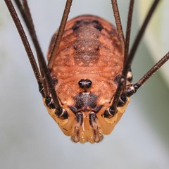 Harvestman Spider (bugpics99) Tags: macro closeup spider arachnid canoneos harvestman 8legs canonmpe65mmf28macro