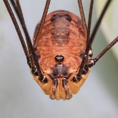 Harvestman Spider (bugpics99) Tags: macro closeup spider arachnid harvestman 8legs canonmpe65mmf28macro