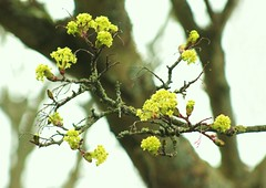 Maple tree buds (ekaterina alexander) Tags: pictures flowers trees england tree green nature photography sussex spring maple acer buds alexander ekaterina