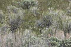 """Mountain Bluebird • <a style=""""font-size:0.8em;"""" href=""""http://www.flickr.com/photos/63501323@N07/25809268386/"""" target=""""_blank"""">View on Flickr</a>"""