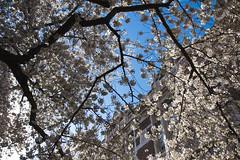 IMG_9428 (elenafrancesz) Tags: uw cherry blossoms wordless