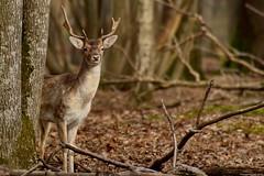 Daim (Phil du Valois) Tags: wild wildlife espace rambouillet daim sauvage faune esapcerambouillet