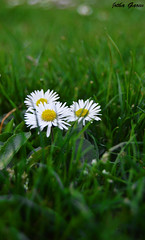 Escondidas (Jotha Garcia) Tags: madrid park parque flower primavera grass march spring nikon bokeh flor daisy marzo margaritas hierba 2016 nikond3200 madriz d3200 jothagarcia