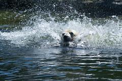 2016-04-20_Zoom_Erlebniswelt_Gelsenkirchen_0014 (julian_bocholt) Tags: zoo wasser zoom gelsenkirchen eisbr spritzer erlebniswelt tamronaf70200mm28dispmacro nikond7200