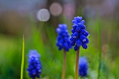 High-rises in Fairyland (Claudia G. Kukulka) Tags: flower spring blossom bloom blume blte frhling muscari babysbreath grapehyacinth traubenhyazinthen spargelgewchs
