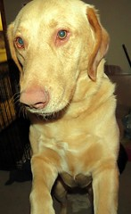 Daisy is full of mischief and doing a no no at this moment. (kennethkonica) Tags: usa dog pet color animal america cat canon fur midwest lab yellowlab indianapolis indy indiana moods animalplanet global hoosiers canonpowershot marioncounty randon animaleyes