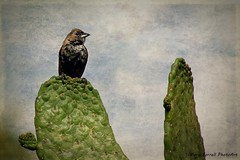 Blue-black Grassquit (Passion4Nature) Tags: cactus texture peru birds lima wildlife birding perch matingdisplay blueblackgrassquit volatiniajacarina museolarco magicunicornverybest