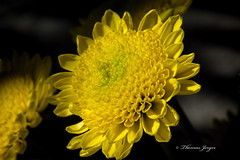 Alignment 1106 Copyrighted (Tjerger) Tags: portrait plant black flower macro fall nature floral beautiful beauty yellow closeup wisconsin petals flora natural gray boom alignment