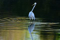 A Better Look (NaturalLight) Tags: fishing great kansas wichita egret greategret chisholmcreekpark