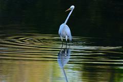 A Better Look (NaturalLight) Tags: fishing great kansas wichita egret greategret chisholmcreekpark