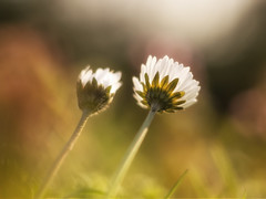 The two of us (A_Peach) Tags: plant flower spring dof bokeh pflanze daisy blume frhling helios helios442 panasoniclumixg5