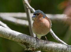 30 04 2016 (cathyk31) Tags: bird oiseau fringillacoelebs commonchaffinch pinsondesarbres fringillids passriformes