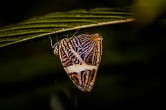 Colobura dirce (grzegorzmielczarek) Tags: macro butterfly costarica mariposa schmetterling centroamérica coloburadirce zebramosaic dircebeauty zebramosaikfalter cebradelyarumo