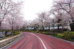 (thefascinations) Tags: tokyo  cherryblossom sakura fullbloom
