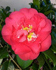 #Camelia #HappyEaster #flower (Mek Vox) Tags: flower camelia happyeaster uploaded:by=flickstagram instagram:photo=12147061637463343497981272 instagram:venuename=ortasangiuliolagod27orta instagram:venue=260197178