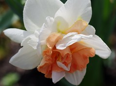 My Story double daffodil (Niki Gunn) Tags: flowers flower macro pentax daffodil april tamron 90mm daffodils k5 tamron90mm doubledaffodil 2016 tamron90mmf28 tamron90mmmacro tamronspaf90mmf28