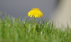 2016-04-18 Solitary Dandelion (tsegat01) Tags: hbw colorfulworldyellow