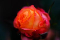 Rose! I love you! (Jill-Wang) Tags: flower rose bokeh 100mm fujifilm f28 100mmmacro leicar xpro1