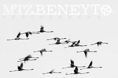 Phoenicopterus roseus (raulmartinezbeneyto) Tags: blanco luz canon noche nikon negro aves dia bn tele fotografia chanel discovery lux flamenco exposicion larga blackandwite phoenicopterus roseus ynegro nationageographic flamencocomun raulmartinezbeneyto wilflifephoto