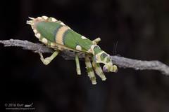Theopropus elegans_MG_0941 copy (Kurt (OrionHerpAdventure.com)) Tags: mantis mantid theopropuselegans bandedflowermantis mantidsofmalaysia