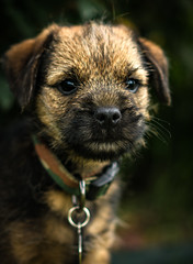 Finn (txwhitacre - out, but will be back later.) Tags: dog puppy puppies sony canine borderterrier a7rii a7rmii
