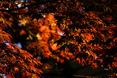(Light Echoes) Tags: plant tree spring maple dof outdoor pennsylvania sony depthoffield april redmaple 2016 hbw a6000