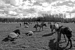 Wild Horses in black-and-white - Herd - 2016-019_Web (berni.radke) Tags: horse pony herd nordrheinwestfalen colt wildhorses foal fohlen croy herde dlmen feralhorses wildpferdebahn merfelderbruch merfeld przewalskipferd wildpferde dlmenerwildpferd equusferus dlmenerpferd dlmenpony herzogvoncroy wildhorsetrack