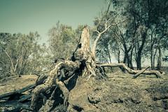 IMG_9909 1 (gaujourfrancoise) Tags: nt australia downunder northernterritory australie kakadunationalpark deadtrees arbresmorts gaujour
