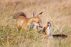 Playing with Mom (Patricia Ware) Tags: california canon losangeles handheld redfox vulpesvulpes specanimal 2015patriciawareallrightsreserved httppwarezenfoliocom