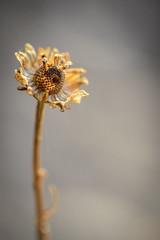 wabi sabi (veronicaquercia) Tags: atardecer flor otoo wabi sabi tamron 90mm