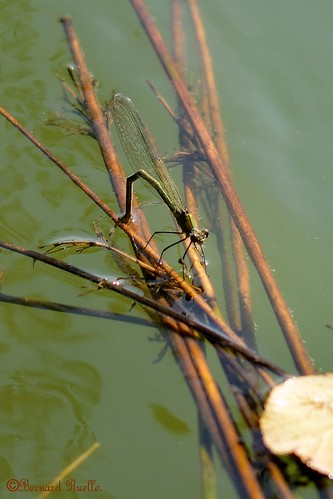 Caloptéryx éclatant (Calopteryx splendens) ♀