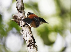 Rufous-backed Sibia (Thomas.Gut) Tags: ruili rufousbackedsibia heterophasiaannectans