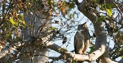 Sycamore Grove 4-17-16 (85) (tpbsr) Tags: birds owl april woodpeckers livermore lvcc sycamoregrove sycsmoregrove