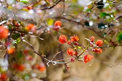 Red hearts (khandozhkoa) Tags: flowers red italy plants color 35mm spring europe fuji bokeh fujifilm fujinon wideopen xf xseries bokehlicious xpro2 xtrans