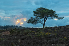 LONGSDALE BOTTOM (mark_rutley) Tags: sunset clouds hampshire sway newforest lonetree lonelytree scotspine thelonetree longsdalebottom
