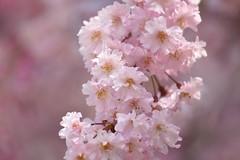 ./Prunus pendula 'Pendula-roea' (nobuflickr) Tags: flower nature japan kyoto   thekyotobotanicalgarden  awesomeblossoms    prunuspendulapendularoea 20160409dsc06492