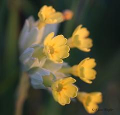 Schlsselblume (Klaus R. aus O.) Tags: sonnenuntergang pflanze gelb blume primula echte frhling primeln schlsselblume veris himmelsschlssel wiesenschlsselblume frhlingsschlsselblume primelgewchse wiesenprimel pflanzenart krautige