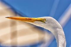 Watchful (nywheels) Tags: sky bird closeup fauna bokeh crane egret
