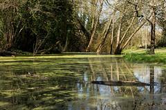 Algal Pond (rexlindis) Tags: england landscape hampshire algae bramley