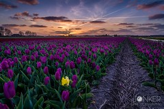 Bloom where you are planted  (melvinjonker) Tags: flowers sunset sky sun holland nature field composition contrast landscape colorful colours different view sundown tulips sony ngc noordwijk picoftheday naturelovers flowerfield skylovers natureperfection skyperfection landscapelovers jawdroppingshots sonya58