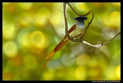 Beauty of The Nature (asifsherazi) Tags: pakistan asianparadiseflycatcher nikond5 kallarkahar asifsherazi nikon600mmf4efled