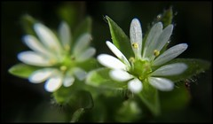 Chickweed Blooms -31/100 (Firery Broome) Tags: flowers white macro green nature yellow closeup dewdrops petals drops weeds dof little bokeh cellphone beautifullight symmetry tiny urbannature delaware 365 newark blooms wildflower phonephoto apps earlyspring iphone chickweed naturelovers ipad universityofdelaware earthnature artofnature phoneography delawarenature iphonenature iphoneography externallens ipaddarkroom olloclip snapseed iphone5s image31100 100xthe2016edition 100x2016