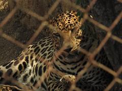 PRISIN PREVENTIVA. (PRE-TRIAL DETENTION.) (FOTOS PARA PASAR EL RATO) Tags: mxico felinos zoolgico