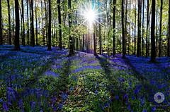 BlueForrest (Xlavius) Tags: flowers blue light sun fairytale dark outside shadows forrest pentax dream surreal flare hyacinth