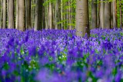 B LU E   O C E A N (frank-heinen-photographer) Tags: wood blue plant nature bluebells forest landscape mood natur blumen blau landschaft wald frhling blumenundpflanzen hasengloeckchen fujifilmxt1 wwwfrankheinenphotographerde