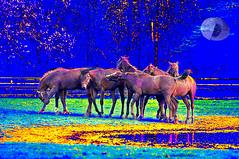 Bonding (Vivid_dreams) Tags: horses color detail art animals outdoors artistic action farm digitalart fantasy farmanimals bonding digitalphotography digitalmanipulation artisticmanipulation